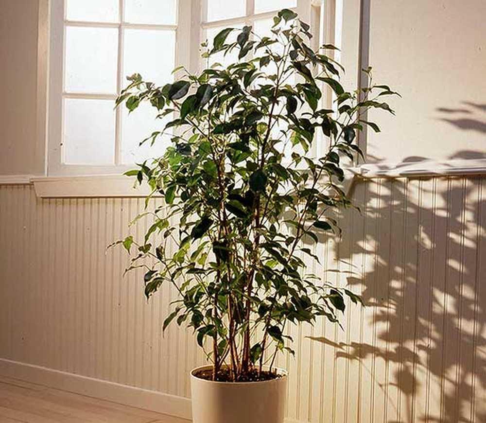 Potare Il Ficus Elastica ficus / giardinaggio | i migliori consigli per un vero